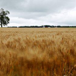 揺れる麦の穂
